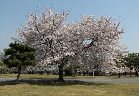 市民体育館北の桜