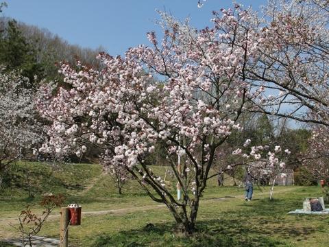 宗堂桜-3
