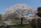 尾崎の安治桜