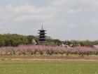 桃と五重塔