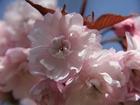 宗堂桜-1