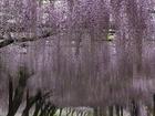 藤の花-1