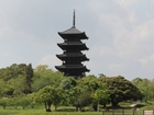 れんげと国分寺五重塔