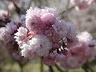 宗堂桜-2