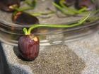 蓮の種の発芽