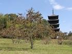 柿の木と国分寺五重塔
